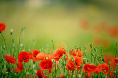 Poppy Meadow Photographie stock libre de droits