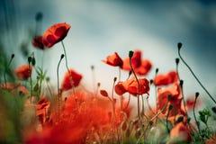 Poppy Meadow Foto de archivo