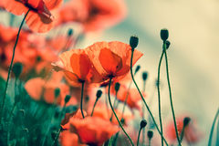 Poppy Meadow Royaltyfri Fotografi