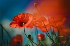 Poppy Meadow Foto de archivo libre de regalías