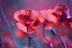 Poppy Meadow Lizenzfreies Stockbild