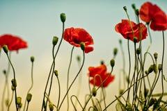 Poppy Meadow Fotos de archivo libres de regalías