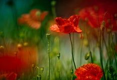 Poppy Meadow Imágenes de archivo libres de regalías