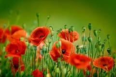 Poppy Meadow Imagen de archivo libre de regalías