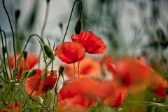 Poppy Meadow Fotografía de archivo