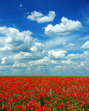 poppy meadow Obrazy Royalty Free