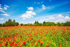 Poppy meadow with the blue sky.  Stock Images