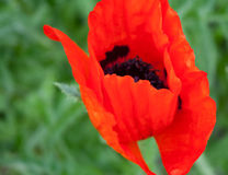 Poppy on a meadow. Close-up on a background of green grass Stock Photo