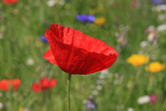 Poppy on meadow Stock Images