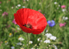 Poppy on meadow Royalty Free Stock Photos
