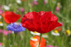Poppy on meadow Stock Photos