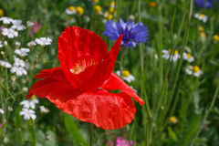 Poppy on meadow Stock Photography