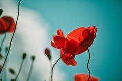 Poppy Meadow Royalty Free Stock Image