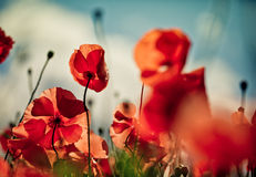 Poppy Meadow Stock Images
