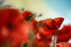 Poppy Meadow Stock Photography