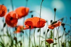 Poppy Meadow Stock Photos