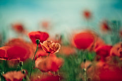 Poppy Meadow Stock Photos