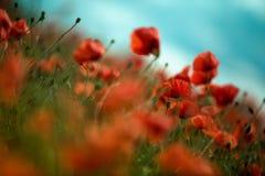 Poppy Meadow Stock Image