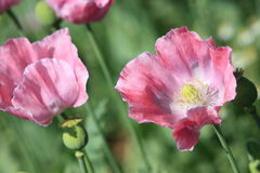 Poppy Meadow Stock Photo