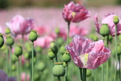 Poppy Meadow Royalty Free Stock Images