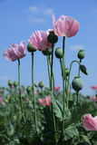 Poppy Meadow Royalty Free Stock Photos