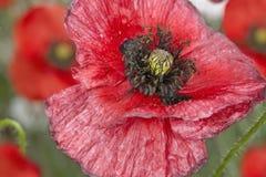 Poppy on meadow Stock Photo