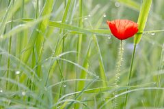 Poppy on a meadow in spring. Poppy with dew drops on meadow in spring Royalty Free Stock Photo