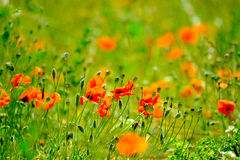 Poppy meadow at summer Stock Images