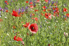 Poppy meadow Royalty Free Stock Photography