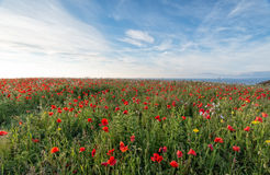 Poppy Meadow Stock Image