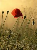 poppy in mist at spring sunrise Stock Images