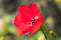 poppy mokre Fotografia Royalty Free