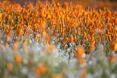 Poppy in Morning Light royalty free stock photo