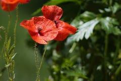 Poppy. Nice red poppy in floraison Royalty Free Stock Image
