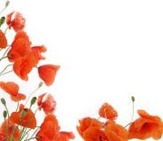 poppy obramiają kwiaty Zdjęcia Stock
