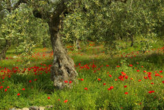 Poppy and olive tree Royalty Free Stock Images
