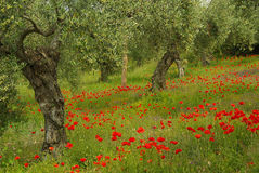 Poppy and olive tree Stock Photos