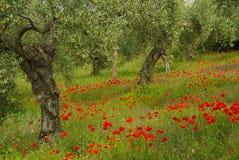 Poppy and olive tree Stock Photos