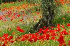 Poppy and olive tree Stock Images