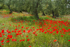 Poppy and olive tree Royalty Free Stock Photography