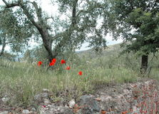 Poppy and olive trees Royalty Free Stock Photo