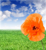 Poppy On A Meadow In Sunny Day Stock Photo
