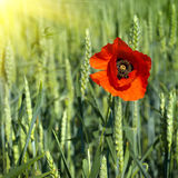 Poppy On Field Of Green Wheat Stock Images