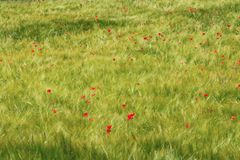 Poppies in a cornfield along Lac de Serre-Poncon, France royalty free stock photos