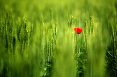 Poppy in a wheat field. Background of green wheat field closeup with selective focus on a single self seeded red poppy Royalty Free Stock Photo