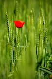 Single poppy in wheat field Royalty Free Stock Image