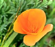 Poppy orange Royalty Free Stock Photos
