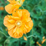 Poppy Orange Gold Double 1 Fotografía de archivo