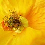 Poppy orange-yellow, macro (3) Stock Images