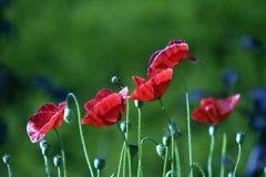 poppy orientalny Zdjęcia Royalty Free